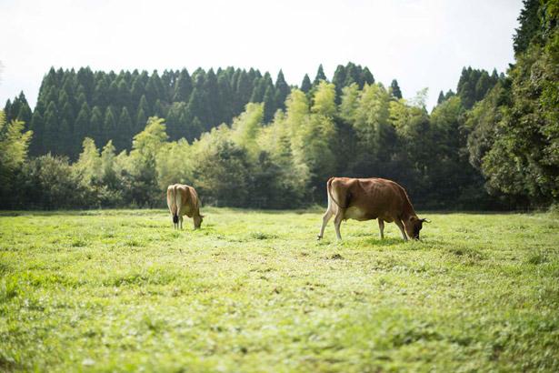 放牧されているジャージー牛たち